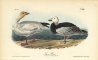Snow Goose.  Pl. 381.