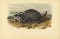 American Badger.  Plate XLVII.