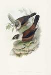 MERULA CASTANEA. Chestnut-colored Merula.