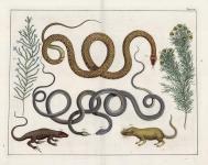 Tab. LXIII.  (Three snakes, Lizard & small mamal).