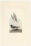 Black Tern. Plate 280.