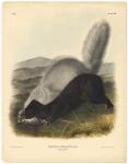 Texan Skunk. Mephitis Mesoleuca, Licht. Plate 53.