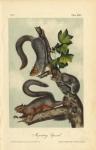 Migratory Squirrel.  Plate XXXV.