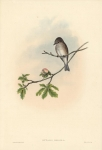 BUTALIS GRISOLA.  (Spotted Flycatcher).