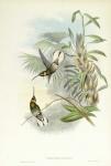 Threnetes Leucurus.  (White-tailed barbed throat).