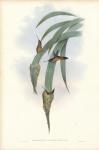 Phaethornis Griseogularis.  (Grey-throated Hermit).
