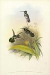 Heliomaster Longirostris.  (Long-billed Star-throat).
