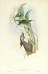 Phaethornis Oseryi.  (D'osery's Hermit).