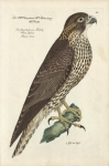 Der schwartz braune Falck.  Falco fuscus.  Faucon braun. [Falcon].  Plate 83.