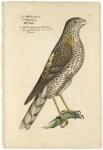 Der Sperber mit gesaumten Pfeil Flecken.  Nisus sagittatus alter. familia junier Epervier.  [sparrow hawk].   Plate 92.