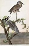Yellow Crowned Heron.  (Ardea Violacea).  Plate 336.