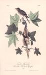 Traill's Flycatcher.  (Sweet Gum Liquidambar Styracisua).  (Male).  Pl. 65.