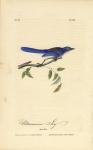 Ultramarine Jay.  Pl. 232.