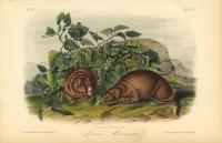 Lewis' Marmot.  Pl. 107.