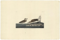Wilson's Plover.  Plate 209.