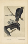 Harlan's Buzzard.  Plate 8