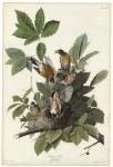 American Robin. Turdus Migratorius.  Plate 131.