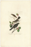 Little Fawny Thrush, Ptiliogony's Townsendi, Canada Jay.  Plate 419.