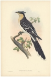 Oxylophus Glandarius.  Great Spotted Cuckoo.
