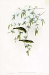Reguloides Superciliosus.  Yellow-browed Warbler.