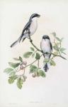 Lanius Minor.  Rose-breasted Shrike.