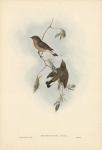 Erythrosterna Parva.  Red-breasted Flycatcher.