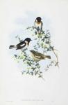 Pratincola Leucura.  White-tailed Bush-Chat.