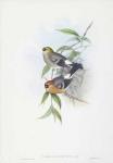 Pyrrhula Erythrocephala.  Red-headed Bullfinch.