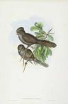 Paradoxornis Unicolor.  Long-tailed Paradoxornis.