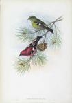 Loxia Bifasciata.  White-winged Crossbill.