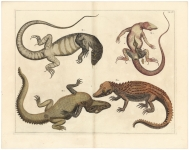 Tab. CV.  {Lizard and crocodile of Ceylon}.