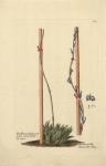 Aloe Africana, humilis arachnoidea.