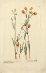 Caryophylli spicati Hort. Farnesian..varietas; Spica magis globosa (Clove carnation).