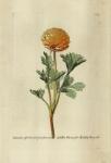Ranunculus; asphodeli radice; florepleno, croceo.