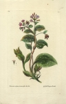 Pulmonaria vulgaris, Maculosofolio.