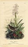 Tawny Thrush.  (Male).  (Hobenaria Lacera - Cornus Canadensis).  Pl. 145.