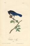 Stellers Jay.  (Male).  Pl. 230.