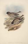Montifringilla Haematopygia.  Red-rumped Mountain Finch.