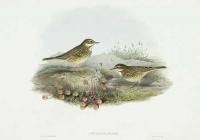 Anthus Pratensis.  Meadow Pipit or Titlark.