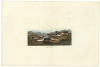 Lapland Long-spur.   Fringilla Laponica.  Plate 365.