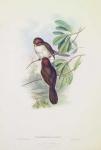 Paradoxornis Ruficeps.  Red-headed Paradoxornis.