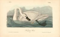 Trumpeter Swan.  (Adult).  Pl. 382.