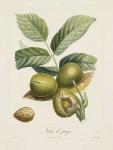 Noix de jauge [walnut].