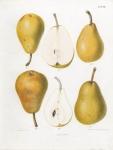 Epine Du Mas - Dorothee Royale. II. Pl. 20. [Pears}.