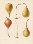 Beurre Giffard - Cuisse Madame. II. Pl. 25. [Pears].