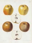 Diepe Kopjes - Fransche Reinette. Pl. 44. [apple]