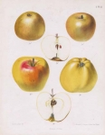 Zure Grauwe Goud-Reinette, Boikenapfel. Pl. 41. [Apples].