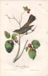 Townsend's Ptilogonys. (Female.) Pl. 69.