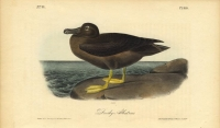 Dusky Albatross.  Pl. 454.
