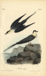 Arctic Jager.  Pl. 453.